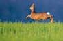 Face à une menace, d'où qu'elle vienne,les chevreuils fuient toujours selon un axe nord-sud.