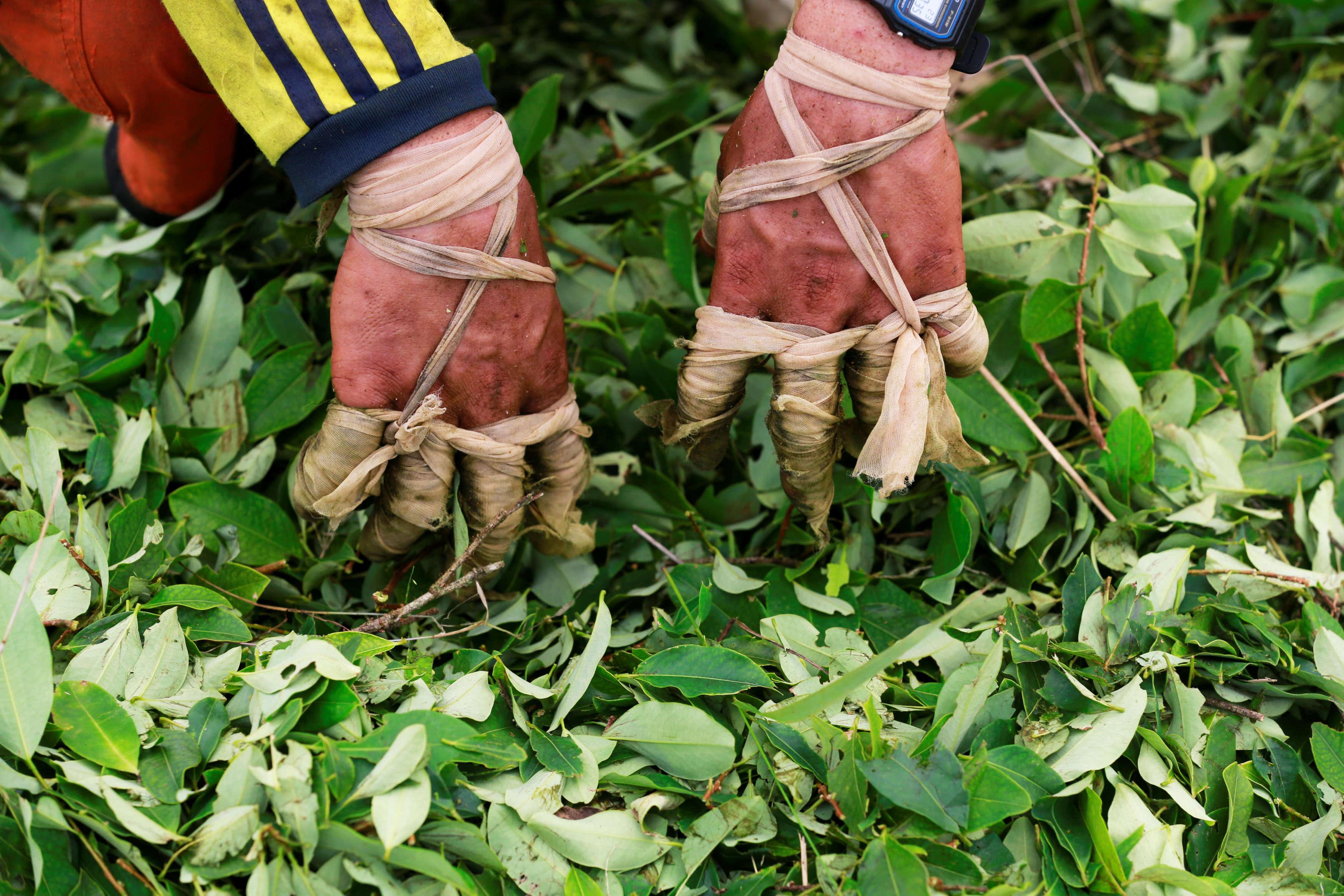 Les doigts enveloppés, un «raspachin»récolte. Le boom de la production de la coca vient à un moment particulièrement sensible pour le gouvernement colombien. En effet, les négociations de paix avec les Forces armées révolutionnaires de Colombie (FARC), qui ont longtemps profité du commerce de drogues illicites, touchent à leur fin.