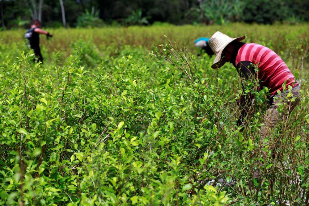 Des «raspachines» –ou ramasseur de feuilles– collectent des feuillesde coca dans la province de Guaviare, en Colombie,le23mai. La récolte part ensuite dans une petite ferme à Guayabero.