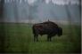 La forêt abrite notamment les derniers bisons sauvages d'Europe, les plus grands mammifères terrestres du continent. Selon les derniers recensements, ils sont 578.