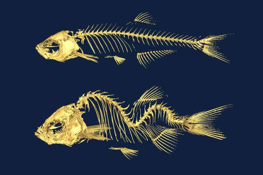Squelettes de poisson zèbre. Celui du bas présente des mutations génétiques induisant une forme de scoliose.