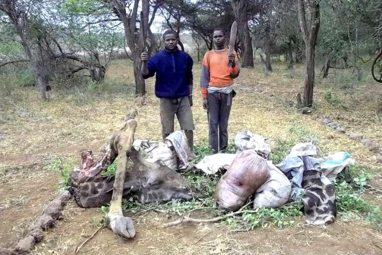 Deux braconniers tanzaniens devant le cadavre d'une girafe.