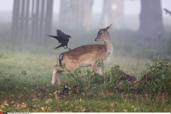 «A la sortie du film d'animation, l'Association des chasseurs américains exigea – sans succès – que les projections fussent précédées d'un avant-propos réhabilitant les armes à feu et les tueurs de gibier» (Photo:Un faon et un corbeau dans la brume de Bushy Park, près de Londres).