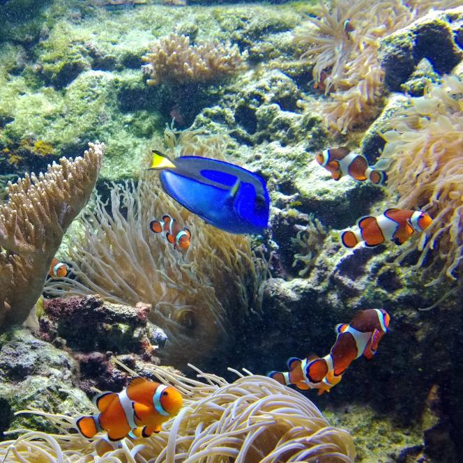 Un poissons chirurgien (en bleu au centre) entouré de poissons clowns.