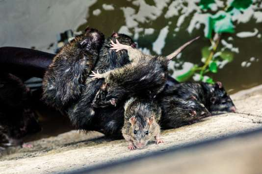 Des rats tentent d'échapper à la crue de la Seine, en juin.