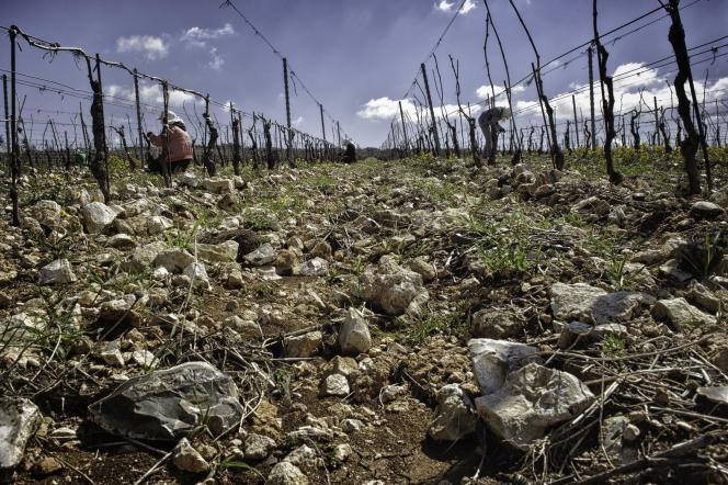 Des cailloux en nombre sur les terres argilo-calcaires, à 900 mètres d'altitude, du domaine Bargylus, en Syrie