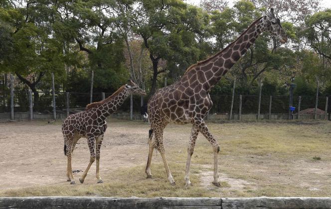 Un couple de girafes, au zoo de Buenos Aires, le 24 juin.