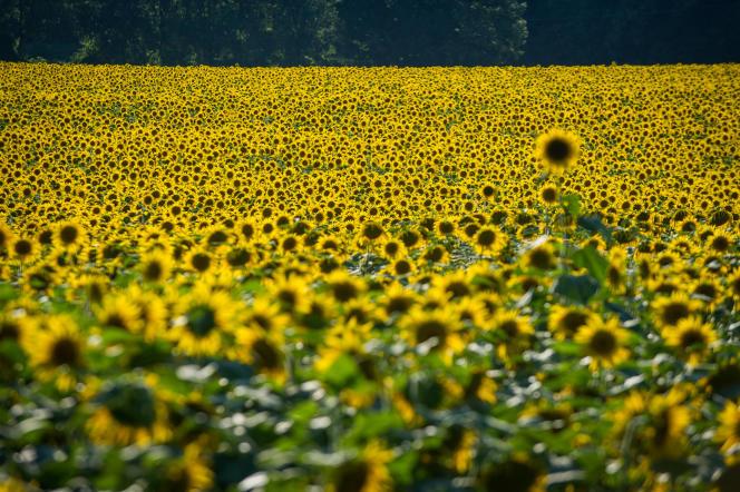 Selon les chiffres de FranceAgriMer, les surfaces semées en tournesol ont baissé de 9 % en 2016, à 563 000 hectares.