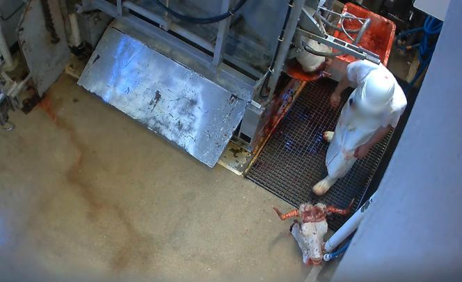 Dans l'abattoir du Mercantour, la découpe du bovin commence dans le box d'immobilisation, considéré comme une zone sale.