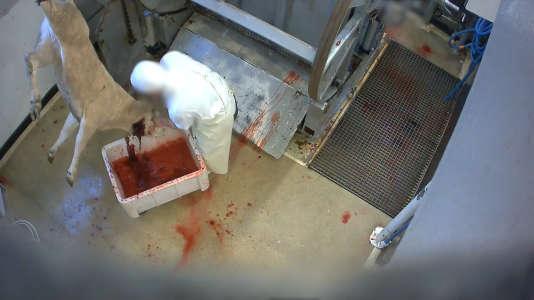 Un veau saigné à l'abattoir du Mercantour. Il tentera de se relever pendant deux minutes entières, à moitié décapité, la tête dans un bac de sang.