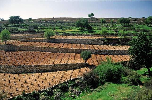 A Chypre, cultures en terrasses de vigne et d'oliviers.