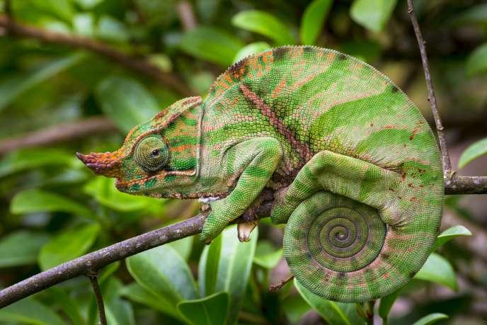 La langue du cameleon Fulcifer balteatus, ici dans le parc national de Ranomafana (Madagascar) a inspiré des scientifiques pour construire un robot capable d'attraper des objets comme une balle ou une petite clé.