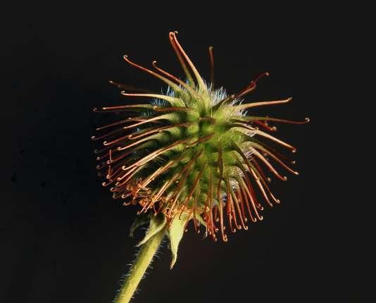 """En étudiant les propriétés des fleurs de la bardane difficiles à décrocher des poils des animaux, un chercheur en a conçu le """"velcro"""", pour velours et crochets."""