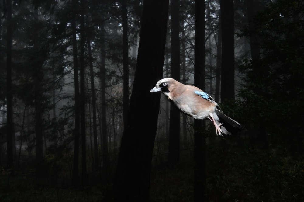 «Manabu Miyazaki conçoit des appareils photographiques automatiques équipés de capteurs infrarouges que déclenchent les animaux lors de leur passage. « Mes pièges photographiques sont comme les arbres qui observent les animaux. Mon appareil photo est l'œil de l'arbre. »