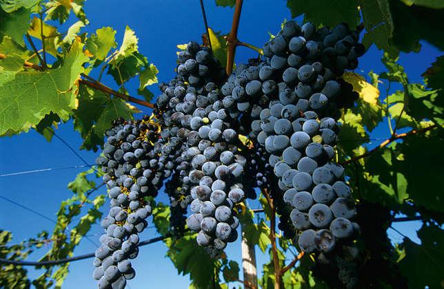 Grappes de raisin noir, à Ravanusa, en Sicile (sud de l'Italie).