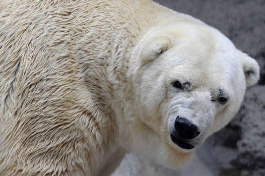 Arturo, le dernier ours polaire en captivité en Argentine, est mort le 3 juillet dans son enclos de Mendoza, à l'ouest du pays.