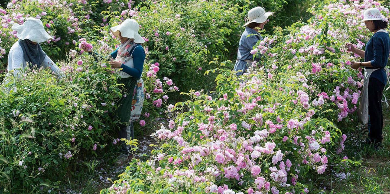 Recolte de roses a Grasse, France en mai 2015