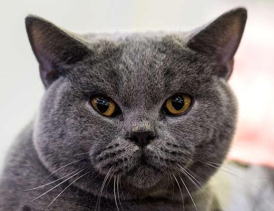 Ce chat, qui participait à un concours international en Malaisie le 24 avril, ne figure pas parmi la liste des disparus.