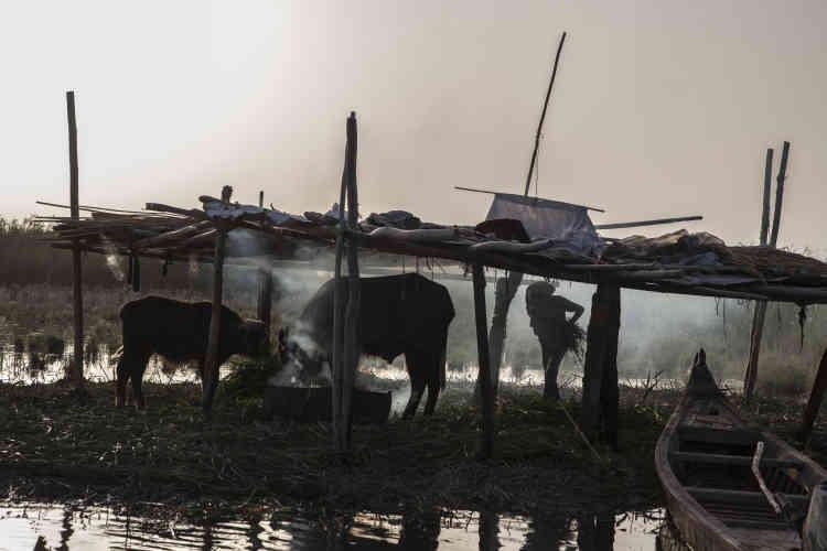 Oum Mahdi et sa famille n'ont plus que 35 buffles. Avec la sécheresse de 2015, 25 sont morts du fait de la salinité de l'eau. Desfeux d'herbes séchées sont allumés pour chasser les moustiques.