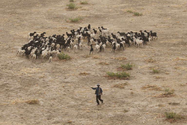 Troupeau près de Maroua au Cameroun.