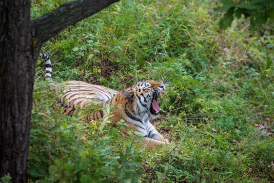 Le Safari Park du Primorié accueille des tigres de Sibérie, dont le bien-nommé Amour.