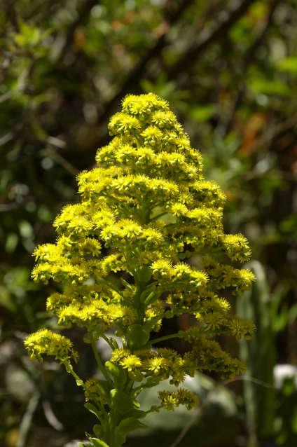 Plante grasse en fleur sur Gran Canaria.