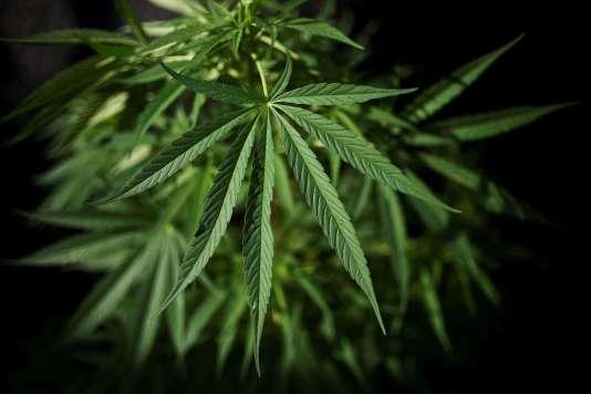 Un plant de marijuana dans la réserve indigène de Toez, en Colombie.
