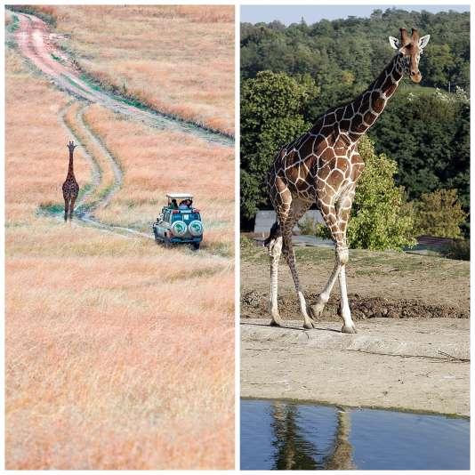 Le ZooParc de Beauval, dans le Loir-et-Cher (à droite) a des airs de parc national du Serengeti, en Tanzanie (à gauche).