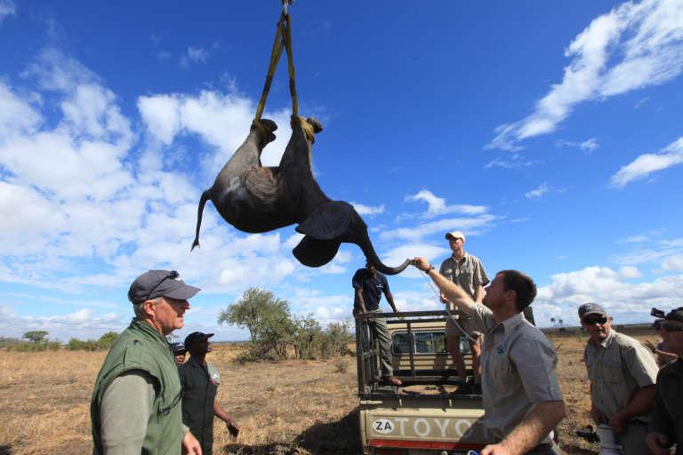 Un éléphant à Lilongwe, au Malawi, dans le cadre d'une opération de soin et de migration assisté pour sauver cette espèce.