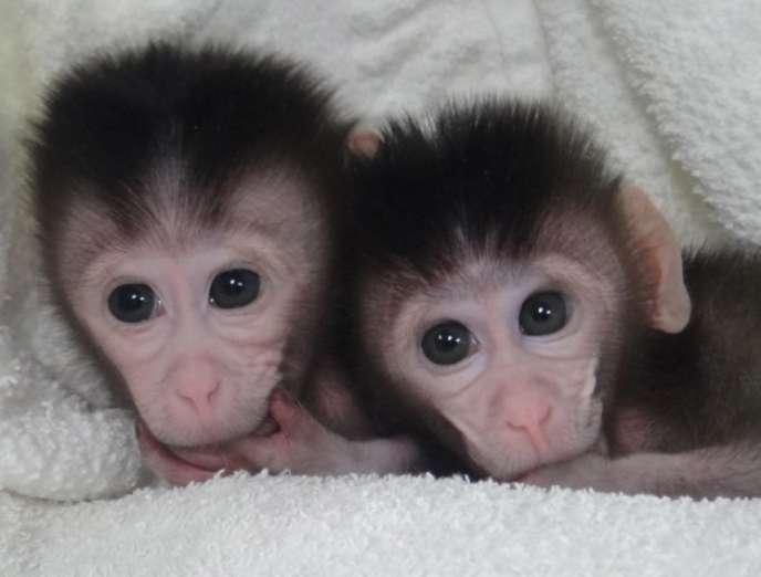 Les deux premiers primates dont le génome a été modifié grâce à Cripsr-Cas9 sont ces deux petits macaques, nés dans un laboratoire chinois en 2013.