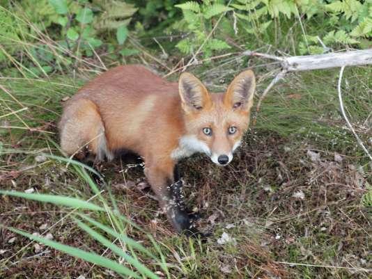 La contamination à la « maladie du renard»se fait par les excréments des animaux (renards, rongeurs, plus rarement chiens ou chats) qui contiennent des œufs de ténia.