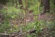 Arbre menacé par le changement climatique planté sur une parcelle de la forêt Domaniale de Verdun. Douamont, Meuse, Alsace-Champagne-Ardenne-Lorraine, 09.05.2016