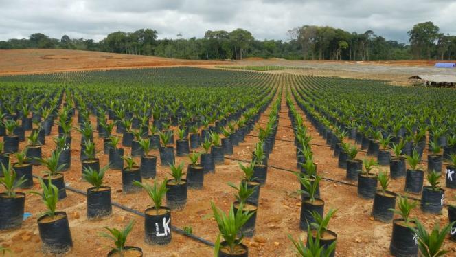 Plantation de palmiers à huile de Golden Veroleum au Liberia.