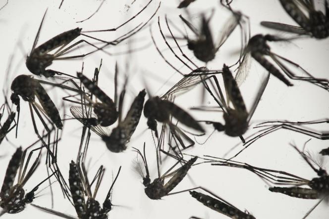 Des moustiques Aedes aegypti, vecteurs du virus Zika.