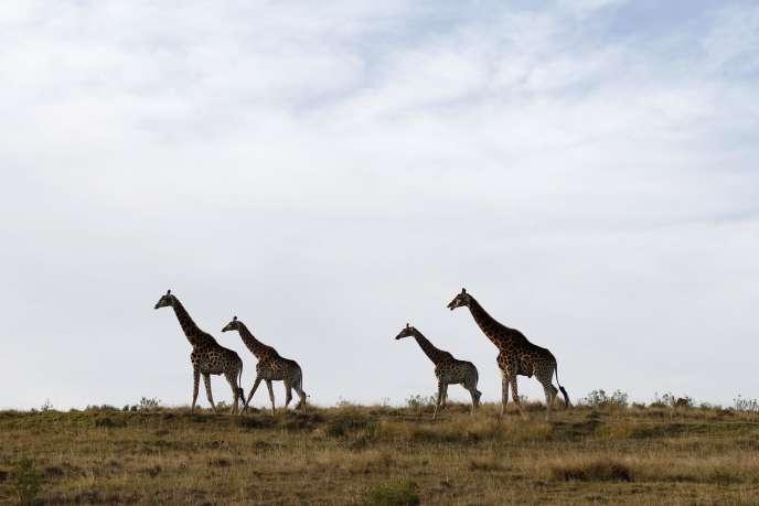 Des girafes auBotlieskop Day Safaris près de Mossel Bay, en Afrique du Sud.