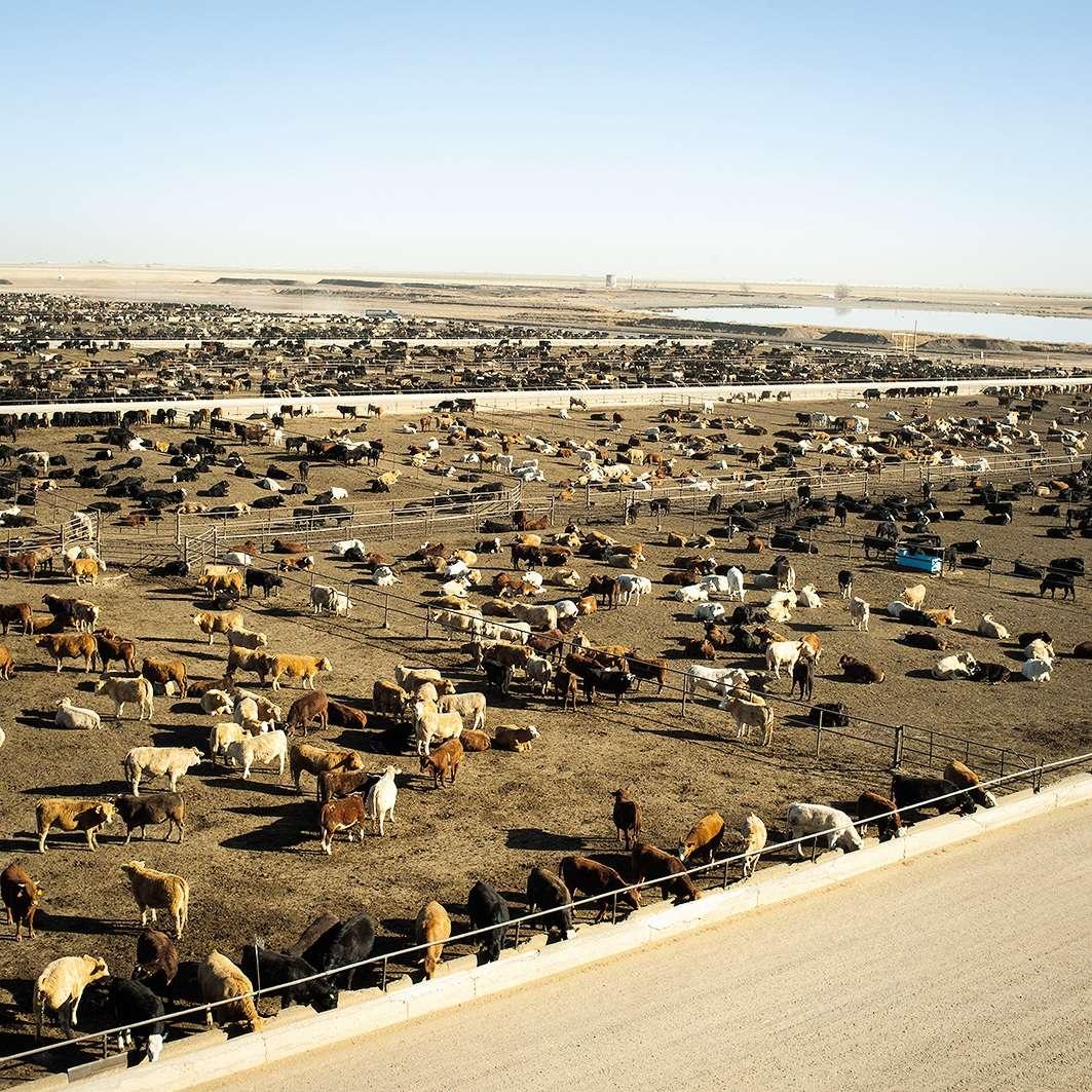 Un ensemble de clichés de l'Américain Brian Finke rendent compte de la transformation d'animaux vivants en viande de consommation humaine. Des images prises au long, et au cœur, de la filière bovine texane. Ici àTulia, au Texas, un élevaged'environ 48 000 bovins.