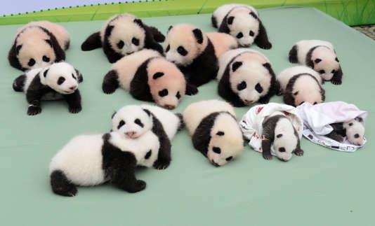 Mini pandas.