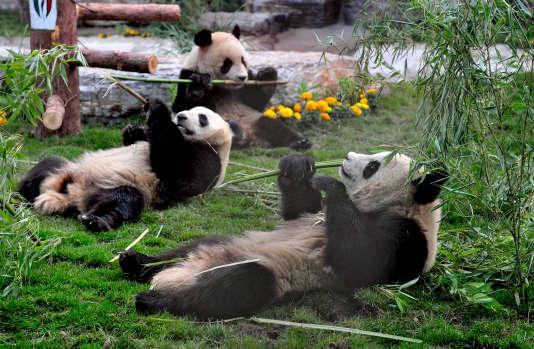 Pandas au repos.