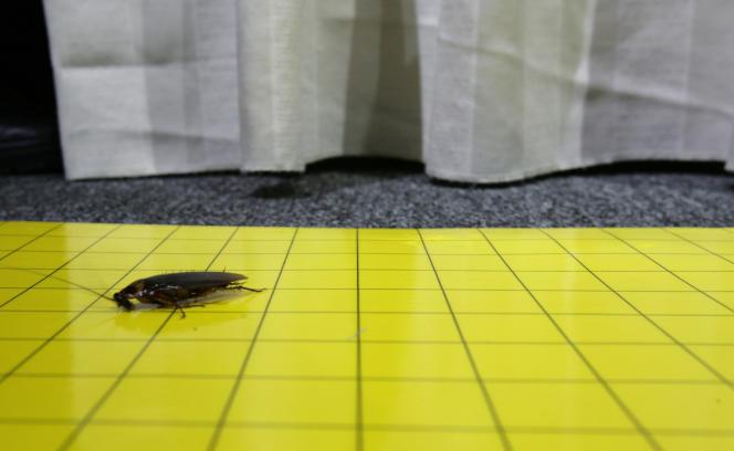 Les cafards, aussi appelés blattes ou cancrelats en Europe, sont considérés comme nuisibles.