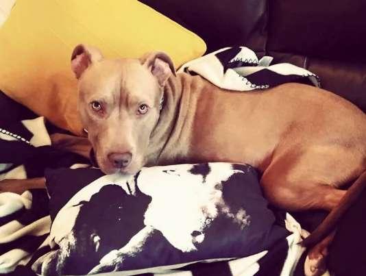 Hank est un croisement entre un staffordshire bull terrier et un labrador.
