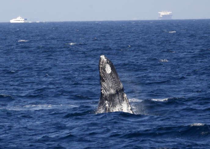 Cette proposition, déjà rejetée en 2014 et en 2012, avait été faite par plusieurs nations sud-américaines avec l'espoir de développer le tourisme d'observation des baleines.