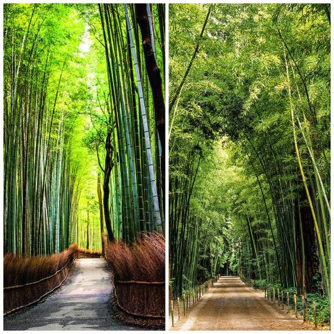 La forêt de bambous d'Arashiyama, à l'ouest de Kyoto (à gauche), et la bambouseraie d'Anduze (à droite).