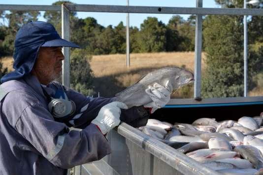 Des saumons chargés dans un camion par la Fiordo Austral Company à Calbuco, près de Puerto Montt, au Chili, en mars .