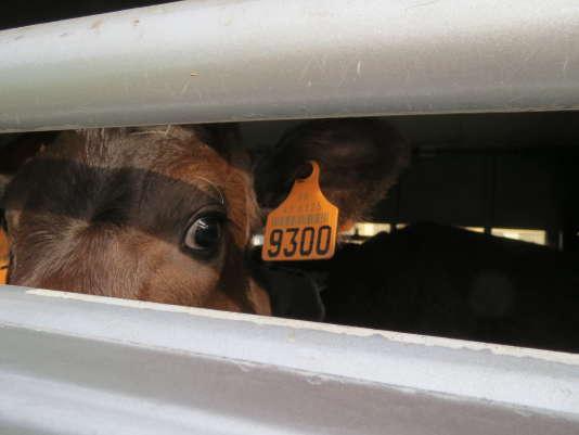 Des jeunes veaux (non sevrés) sont transportés sur près de 3000 kilomètres sans être ni nourris ni abreuvés.