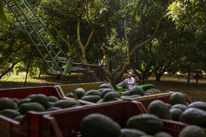 Production d'avocats à Uruapan, dans l'Etat du Michoacan, en avril.