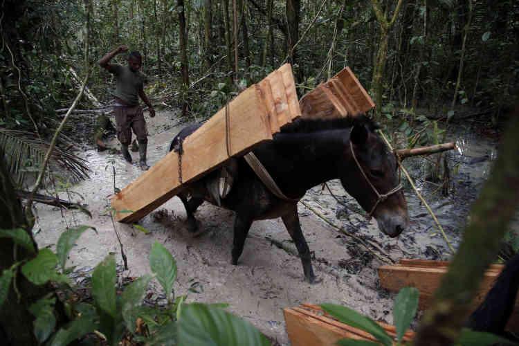 Une mule transporte des planches vers un camp des FARC dans la jungle de Putumayo. Elles serviront à la construction d'une salle de classe.