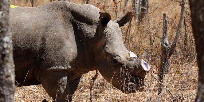 Une femelle rhinocéros décornée, en août 2016.