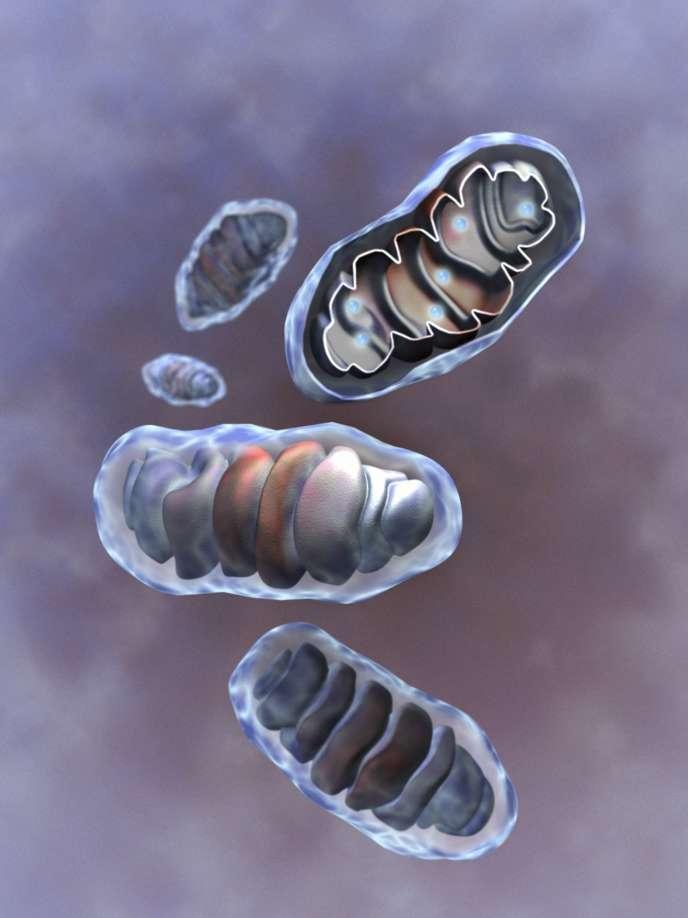 Vue d'artiste de mitochondries en coupe. Ces anciennes bactéries fournissent à nos cellules de l'énergie sous forme d'ATP.