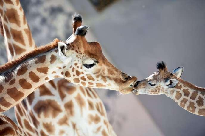 Contrairement à ce que pensait la science, il n'existe non pas une, mais quatre espèces de girafes.