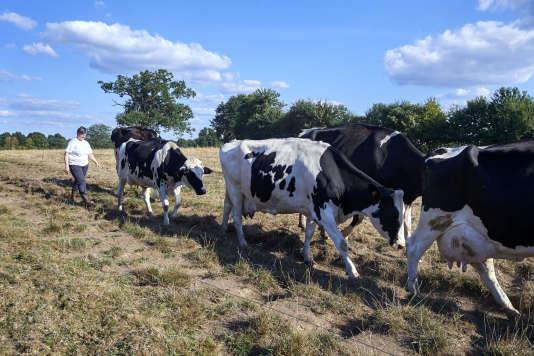 Isabelle Gougeon avec ses vaches, le 30 août.